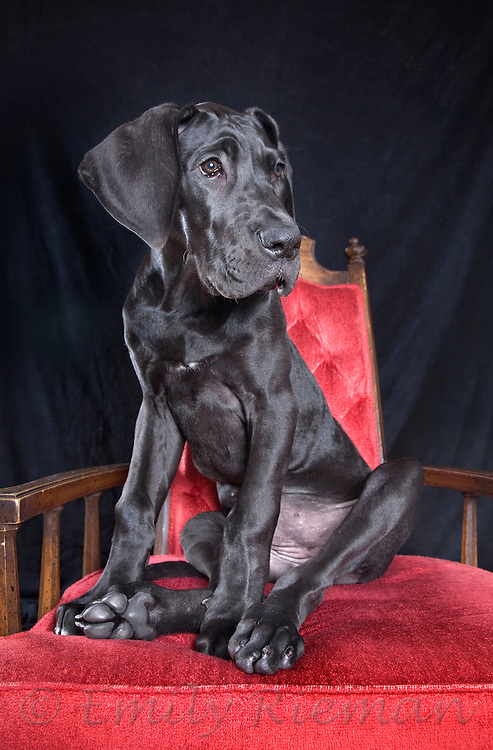 Black Great Dane puppy on red chair
