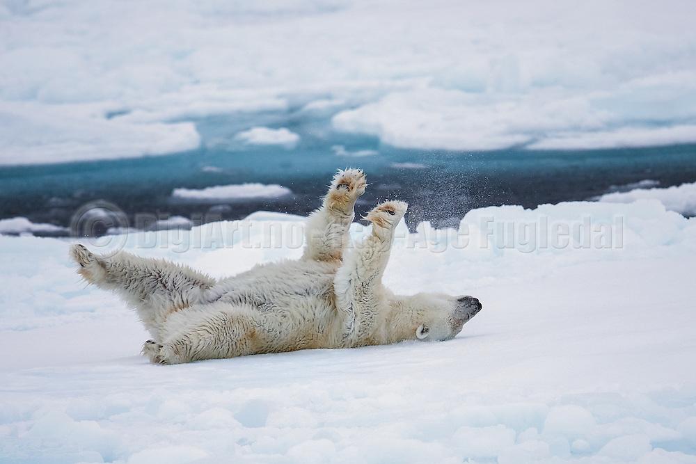 Wet Polar Bear scratches it's back on ice floe snow, Spitsbergen | Våt Isbjørn klør ryggen sin på et isflak