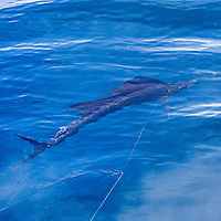 Atlantic Sailfish swimming underwater with its entire sail upright offshore Lobito, Angola.