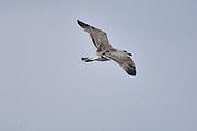 Gull flys over Noss Sound