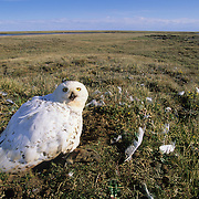 Snowy Owl (Nyctea scandiaca) adult near a nest with chicks. Barrow, Alaska