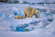 A young cub nipping at mom's heels playfully on the frozen sea ice of the Svalbard Archipelago under the midnight sun. This adorable moment was fleeting, photographed on a brief rest the pair took as they roamed the sapphire landscape in search of food. As heat index continues to rise the summer season in the Arctic has become elongated, making it debatably the hardest season for bears who depend upon sea ice for ambush hunting. Polar Bears are the icon of the Arctic, but are exceptionally vulnerable to the effects climate change is taking on our planet.<br />