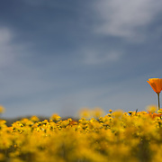 As a walked around antelope valley, california, I saw the one flower popping out from the yellow patch of flowers.  Perfect lighting from sun.