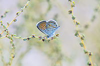 Touted as the world's smallest butterfly (at least this is true in North America) this one was one of hundreds I found at late dusk in the Moab Desert all seemingly asleep among a few bushes on the side of the road in Arches National Park in Eastern Utah. The wingspan at best is half an inch.