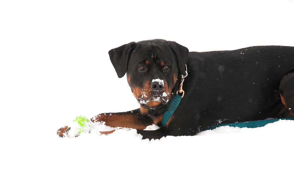California, Lake Tahoe: Young Rottweiler dog 15 month old in the snow at  North Lake Tahoe Regional Park.  Photo copyright Lee Foster.  Photo # cataho107530