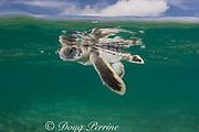 Australian flatback sea turtle hatchling ( Natator depressus ) swims out to sea from nesting beach, Torres Strait, Queensland, Australia (c-r)