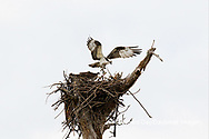 00783-01806 Osprey (Pandion haliaetus) in flight to nest with food Cruickshank Sanctuary - Brevard County, FL