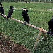 China, Great Cormorants used for fishing in the Shexian River. City of Shexian.