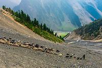 A herd of goats and sheep, Zojila Pass; Kashmir, Jammu and Kashmir State; India.