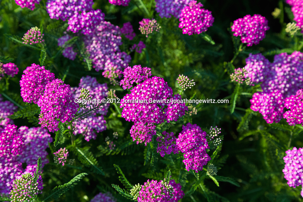 Purple and white wildflowers in a garden. WATERMARKS WILL NOT APPEAR ON PRINTS OR LICENSED IMAGES.