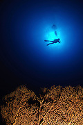 Israel, Eilat, Red Sea, - Underwater photograph of a diver swimming above an Anella Alcyonacea (soft corals)  coral