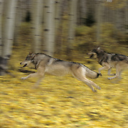 Gray Wolf (Canis lupus) adults running during the fall in Montana. Captive Animal