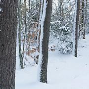 Fresh snow in winter woods, Breakheart Reservation, Wakefield, MA