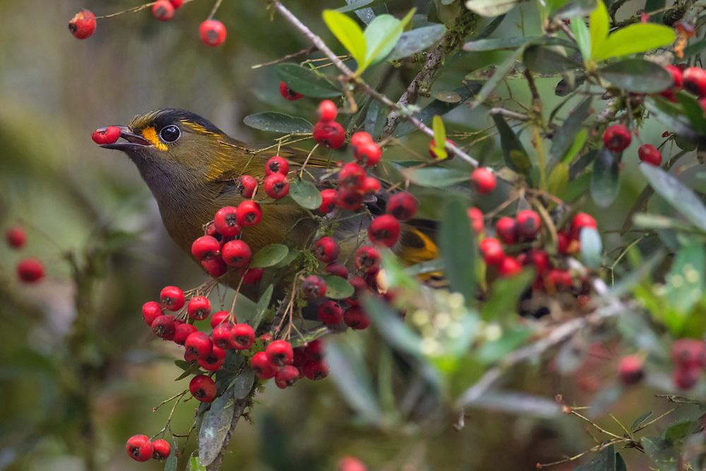 Taiwan Liocichla, Liocichla steerii, Lu Shan, Taiwan endemic species