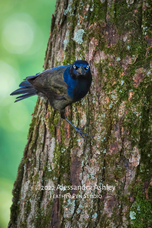 Common grackle adult with glossy blue and black feathers, perching on maple tree trunk and looking directly at photographer. Backyard setting, central Ohio.