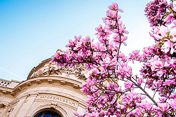 THEMENBILD - Ein Magnolien Baum in voller Blüte im Frühling vor dem Landesmuseum Universalmuseum Joanneum am 02. April 2019 in Graz // A blooming Magnolia tree in front of the Universal-Museum Joanneum on 02 April 2019 in Graz, Austra. EXPA Pictures © 2019, PhotoCredit: EXPA/ Erwin Scheriau