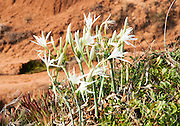 Pancratium maritimum, or Sea Daffodil, is a species of Amaryllidaceae native to the Mediterranean region. Photographed in Israel in April