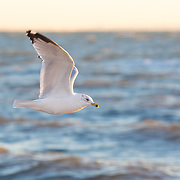 """Seagull in Connecticut in the winter. <br /> <br /> For all details about sizes, paper and pricing starting at $85, click """"Add to Cart"""" below."""