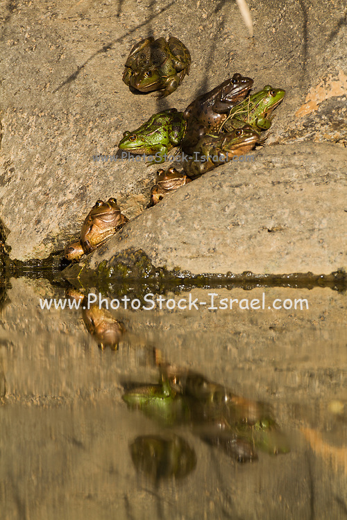 Levant water frog (Pelophylax bedriagae). They are green to brown in color with dark blotches on their dorsal side. They are cousins of the aquatic frogs and live most of the time in the water. They are not poisonous and are quite large, especially the females. Photographed in Israel in November