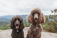 Two dodgs, poodle and doodle