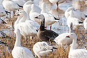 A blue goose stands with his snow geese relatives to feed and mingle in their winter home at the Bosque del Apache National Wildlife Refuge in San Antonio, New Mexico. About 32,000 snow geese overwinter at the refugee and move in mass during the morning and evenings.