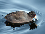 American coot in The Jacqueline Kennedy Onassis Reservoir, also known as Central Park Reservoir, New York City