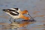 Stock photo of American Avocet captured in Colorado.  During feeding, the avocet will sweep it's bill from side to side, picking up minute crustaceans and aquatic insects.
