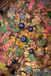 The black hips and autumn foliage colouring of Rosa spinosissima 'Merthyr Mawr'