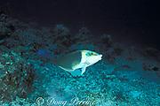blackeye thicklip or half-and-half wrasse, <br /> Hemigymnus melapterus, terminal phase adult, <br /> Sipadan Island, Borneo, Sabah, Malaysia,<br /> ( Celebes Sea )