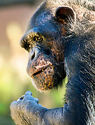 A chimpanzee looks up from the food in its hand at the St. Louis Zoo on October 17, 2015.