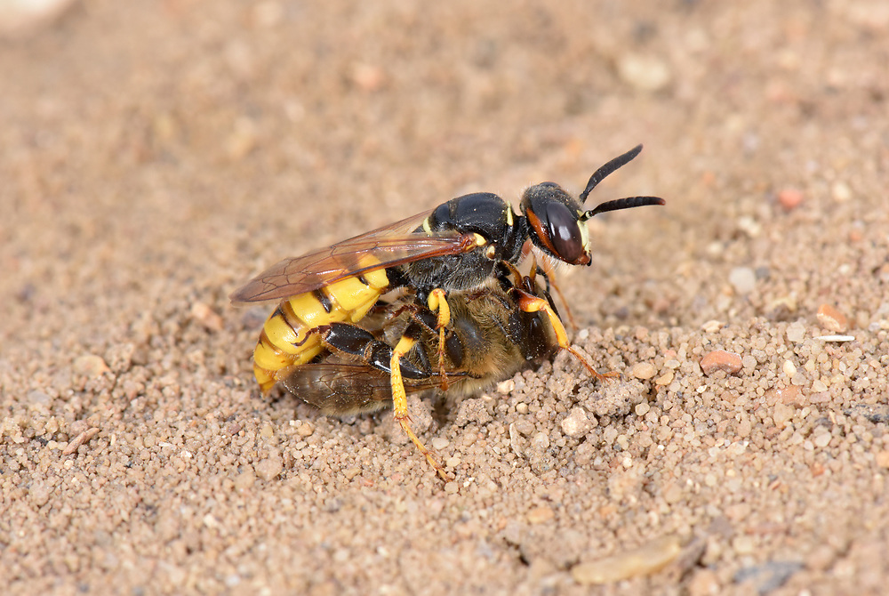 Bee-wolf - Philanthus triangulum