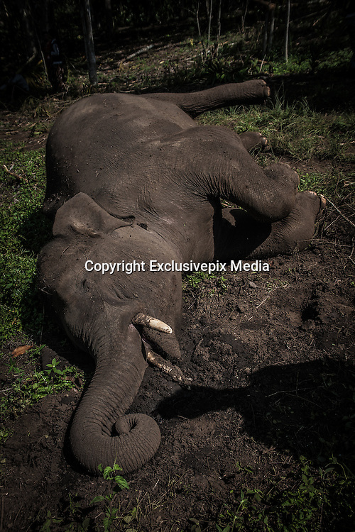 Feb. 19, 2016 - Aceh, Indonesia -<br /> <br /> Seen the shadow of residents where watch the carcass of a wild Sumatran elephant who was found dead in the Karang Ampar village, Ketol district, Middle of Aceh, Aceh province, Indonesia on February 19, 2016. From the resident information, Sumatran elephant was killed on suspect by poison after the protracted conflict between humans and wildlife. <br /> ©Exclusivepix Media