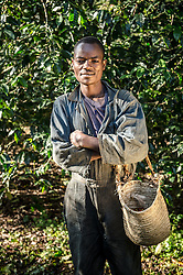 Bezabih Bayu harvests coffee on the Teppi plantation in the Kaffa region of Ethiopia. It is one of Ethiopia's largest plantations where Starbucks buys much of its coffee from Ethiopia.Coffee permeates the cultural fabric of Ethiopian life, and is celebrated daily in coffee ceremonies. Families prepare it in the living room using a pan to roast over coals, a mortar and pestle to grind, and a clay pot to boil and brew. The coffee ceremony is at once a social tradition, a celebration of the virtuous properties of coffee, and an opportunity for contemplation and reflection. Coffee is served over a period of time in three individual rounds?the Abol, Tona, and Baraka, each of which has its specific significance. Life without coffee is almost unimaginable?most people drink it in the morning, the afternoon, the evening, and sometimes late into the night. Ethiopia is one of only two producing countries that drink more than half of what they grow.