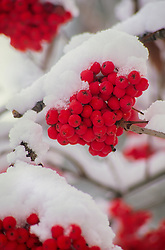 United States, Washington, Leavenworth, snow-covered berries on tree.