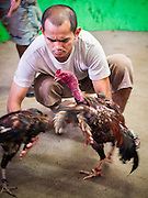 11 JANUARY 2014 - BANGKOK, THAILAND:  A fight official pushes pulls cocks apart during a bout in Bangkok. Cockfighting dates back over 3,000 years and is still popular in many countries throughout the world today, including Thailand. Cockfighting is legal in Thailand. Unlike some countries, Thai cockfighting does not use artificial spurs to increase injury and does not employ the 'fight to the death rule'. Thai birds live to fight another day and are retired after two years of competing. Cockfighting is enjoyed by over 200,000 people in Thailand each weekend at over 75 licensed venues. Fighting cocks live for about 10 years and only fight for 2nd and 3rd years of their lives. Most have only four fights per year. Most times the winner is based on which rooster stops fighting or tires first rather than which is the most severely injured. Although gambling is illegal in Thailand, many times fight promoters are able to get an exemption to the gambling laws and a lot of money is wagered on the fights.    PHOTO BY JACK KURTZ