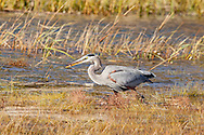 A great blue heron feeding in shallow water in Provincetown.