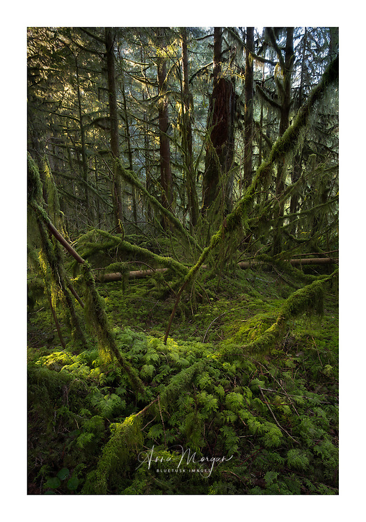 Lush carpet of green in temperate rainforest, Golden Ears Provincial Park, British Columbia