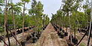 Rows of young trees in plastic pots in a tree nursery