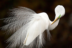 """A Great Egret displays during breeding season. Photographed in Florida, this image won the Grand Prize in National Audubon Society's annual photo contest in 2015. <br /> <br /> BIO: Melissa Groo is a wildlife photographer, writer, and conservationist. She's passionate about conveying the marvels of the natural world to diverse audiences. She believes that photography can be both fine art and a powerful vehicle for storytelling, and considers herself a """"wildlife biographer"""" as much as a wildlife photographer. By capturing and sharing stories about individual wild animals, she hopes to raise awareness and change minds about not only the extrinsic beauty of animals, but also their intrinsic worth.<br /> <br /> Melissa is an Associate Fellow with the International League of Conservation Photographers.She writes a regular column on wildlife photography for Outdoor Photographer magazine, and is a contributing editor to Audubon magazine. Her photographs and articles have been published in numerous magazines including Smithsonian, Audubon, Outdoor Photographer, National Wildlife, Living Bird, and Natural History. <br /> <br /> WEBSITE: melissagroo.com<br /> INSTAGRAM: @melissagroo"""