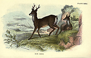 The roe deer (Capreolus capreolus Here As Capreolus caprea), also known as the roe, western roe deer European roe, is a species of deer. The male of the species is sometimes referred to as a roebuck. The roe is a small deer, reddish and grey-brown, and well-adapted to cold environments. The species is widespread in Europe, from the Mediterranean to Scandinavia, from Scotland to the Caucasus, and east to northern Iran and Iraq From the book ' A hand-book to the British mammalia ' by  Richard Lydekker, 1849-1915  Published in London, by Edward Lloyd in 1896