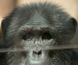 Bernie, one of two new chimpanzees acquired by the Oakland Zoo, seen Tuesday, Aug. 24, 2010 in Oakland, Calif. (D. Ross Cameron/Staff)