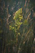 Lady's bedstraw (Galium verum) in sunlit meadow, near Gramzda, Kurzeme, Latvia Ⓒ Davis Ulands   davisulands.com