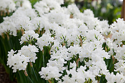 Paperwhite narcissus growing in the glasshouse