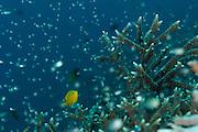 Stone coral (Acropora sp.) with a Lemon Damsel (Pomacentrus moluccensis) Raja Ampat, West Papua, Indonesia, Pacific Ocean | Steinkoralle (Acropora sp.) mit Zitronen-Demoiselle (Pomacentrus moluccensis) Raja Ampat, West Papua, Indonesien, Pazifischer Ozean