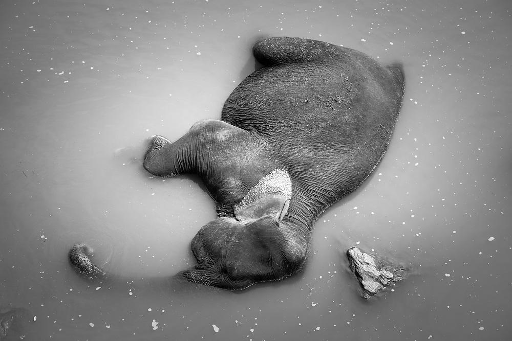 Sri Lanka. An adult elephant from the Pinnawala Elephant Orphanage resting in the Maha Oya river.<br /> Photo by Lorenz Berna