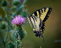 Tiger Swallowtail Butterfly on a Thistle Flower. Image taken with a Fuji X-T1 camera and 100-400 mm OIS lens.