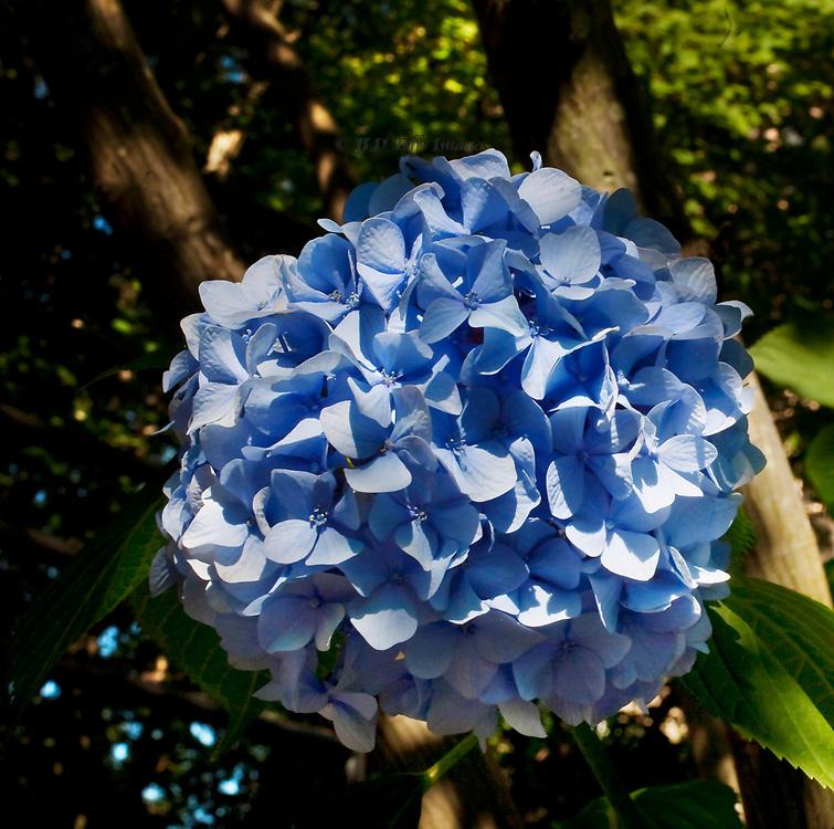 Single blue hydrangea blossom in partial shade