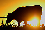 CM-12/27/03 North Platte, Neb. A Black Angus on  Triple B Angus Knoll Ranch Saturday evening. For a story on Mad Cow Disease and its affect in Nebraska. (photo by Chris Machian/Prairie Pixel Group).