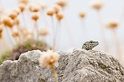 Wall lizard (Podarcis muralis) amidst a swathe of faded thrift. Purbeck, UK.