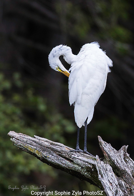 Great Egret Sprucing up